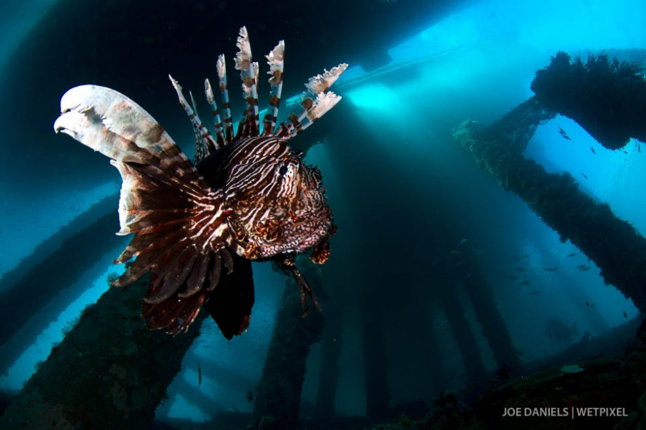A lion fish (*Pterois volitans*) makes its home underneath a fishing jetty.