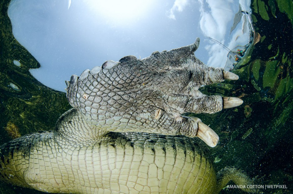 A close-up of an American crocodile's foot as it swims overhead.