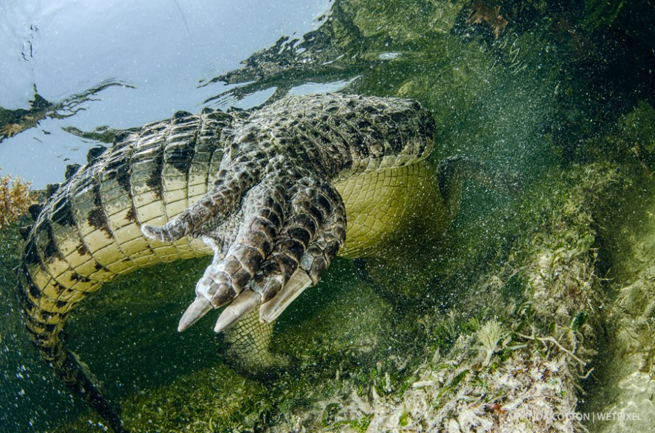 American crocodile moves through the water in Chinchorro.