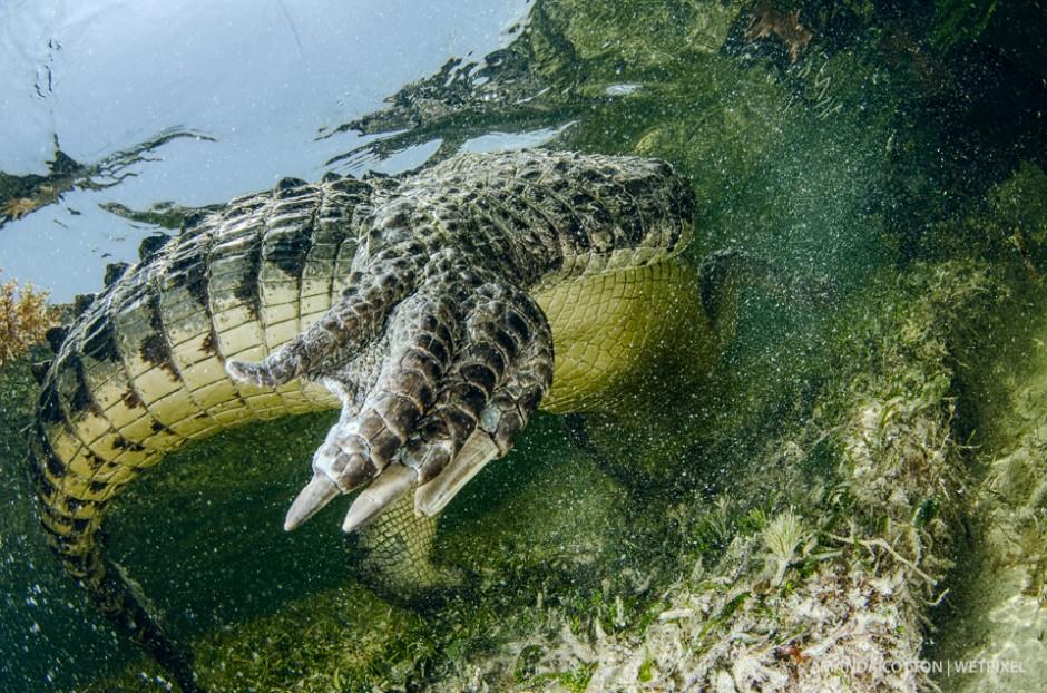 American crocodile moves through the water in Chinchorro.