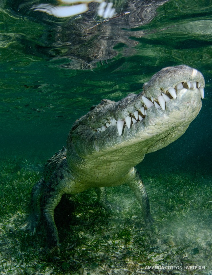 American crocodile moves to the surface.