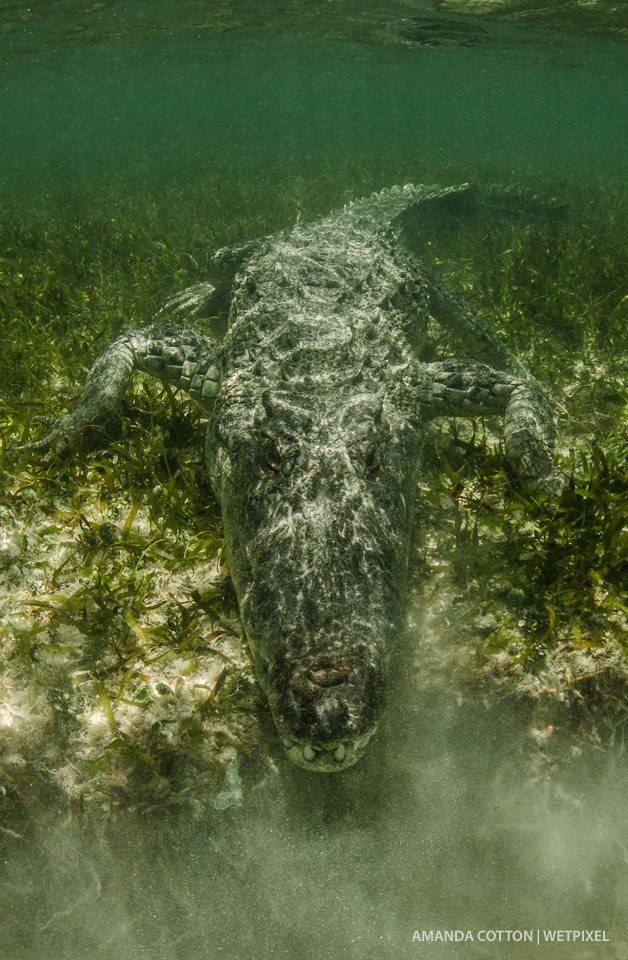 The American crocodiles of Chinchorro spend much of their time underwater lying in wait.