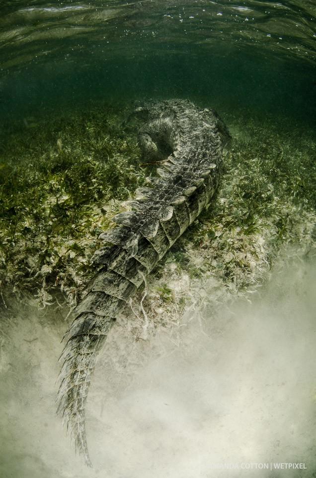 A crocodile slowly moves away.