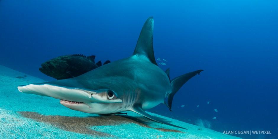 Great hammerhead (*Sphyrna mokarran*) looking for snacks during our regular Lemon Shark dive on the wreck trek Jupiter.