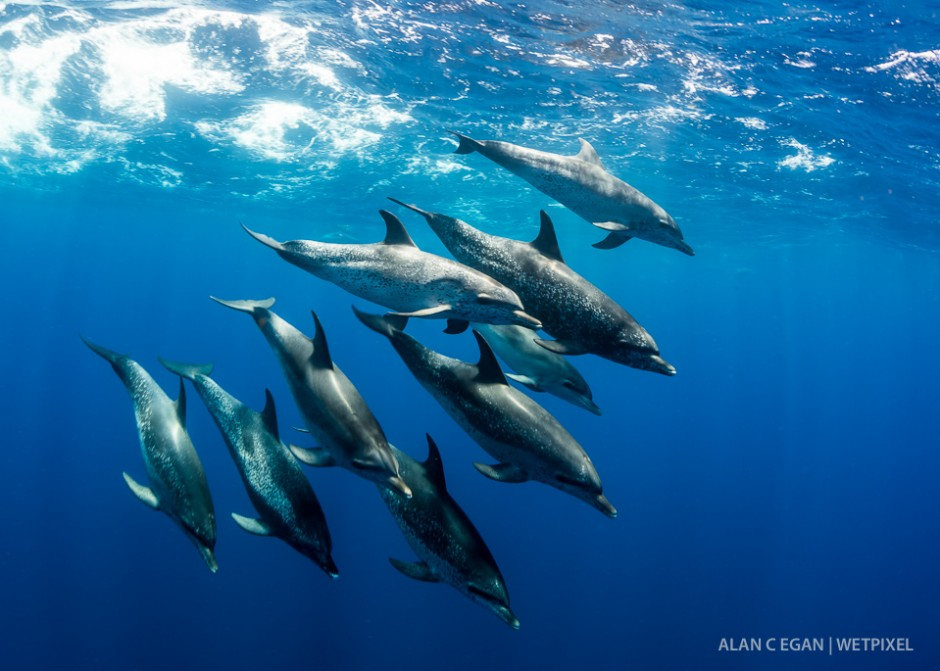 Atlantic spotted dolphin  (*Stenella frontalis*). The Gulf Stream is close to land at Jupiter and thai explains the sightings of so many large pelagic species.