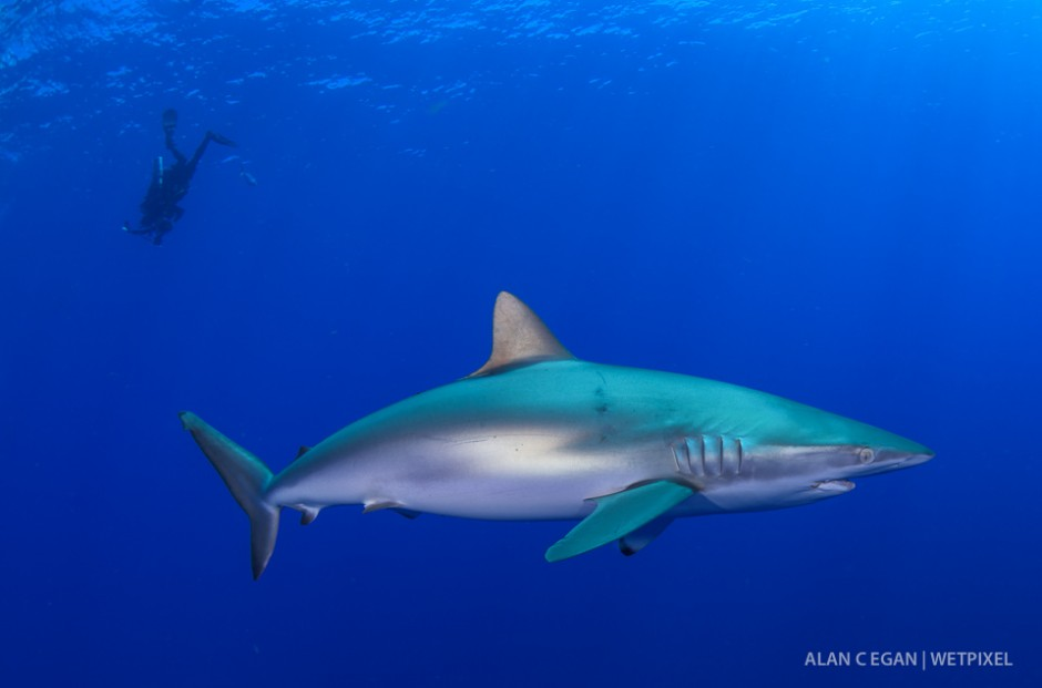 Silky sharks (*Carcharhinus falciformis*) also show up and are shy compared to the bold dusky sharks, but they are one of my favorite subjects to shoot.  Their eyes are beautiful.