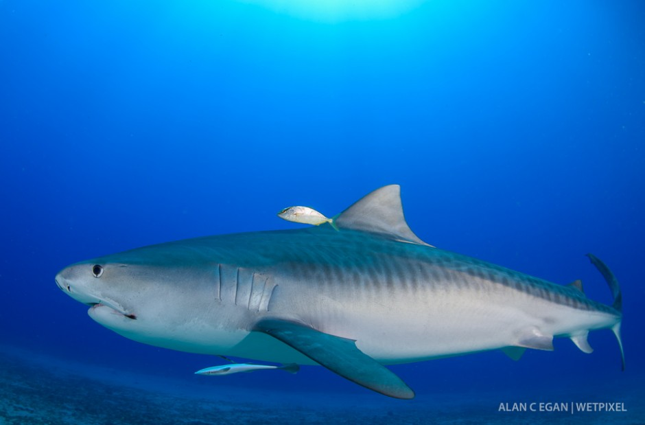We have enjoyed eleven tiger sharks (*Galeocerdo cuvier*) in Jupiter over the last year and the winter months being better as they leave in the summer for destinations unknown, some have tags from Bimini, Bahamas.