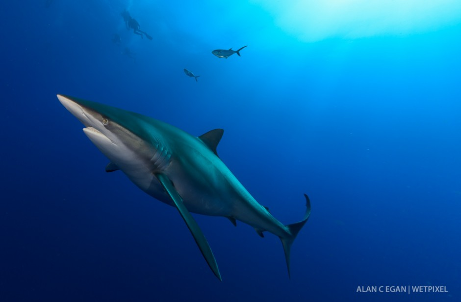 Large pregnany dusky shark (*Carcharhinus obscurus*) enjoying the photo shoot with divers above watching.
