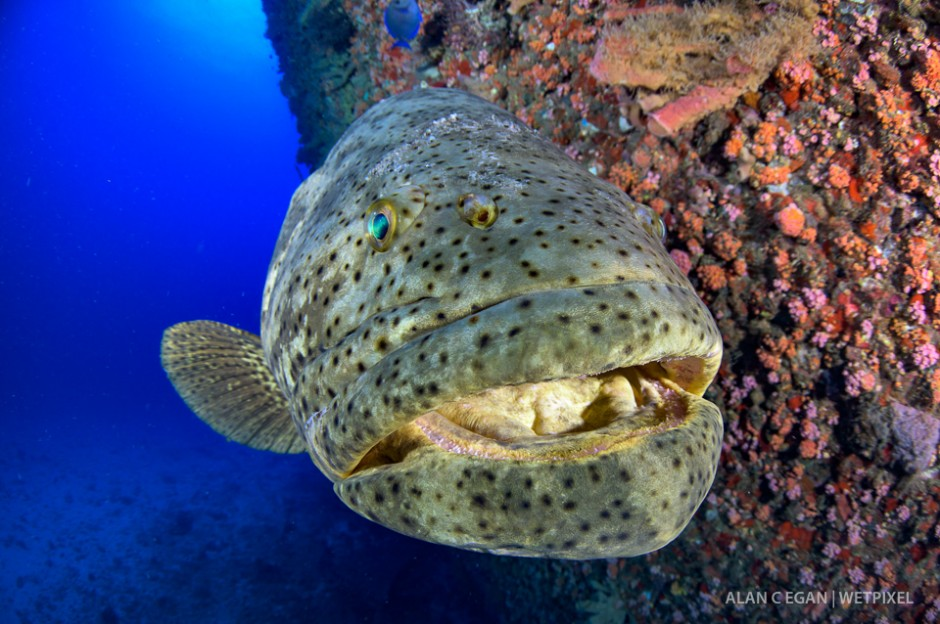 Every year we are lucky to enjoy the goliath grouper (*Epinephelus itajara*) aggregation and numbers can exceed 150 fish at one place.