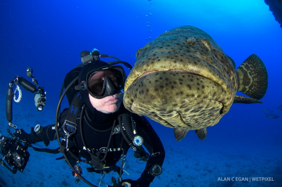 The normally shy goliath groupers (*Epinephelus itajara*) seem to enjoy interaction during spawning season.