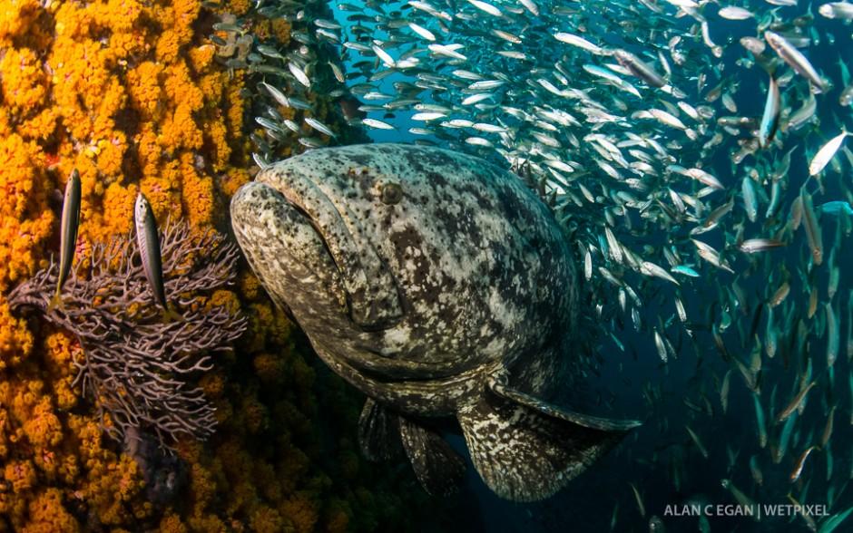 The impressive Atlantic goliath grouper (*Epinephelus itajara*) with bait ball and invasive cup coral.