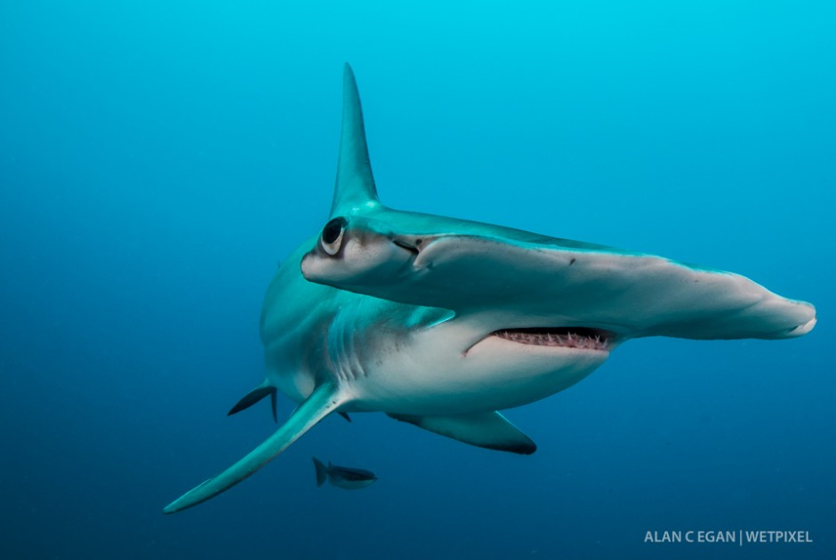 January through April we see the great hammerheads (*Sphyrna mokarran*) migrate through Jupiter. They often stop in for a photo shoot and compete with the tigers for snacks.