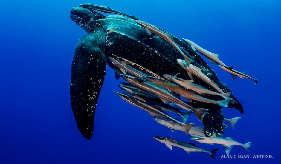 Ever swim alongside a living dinosaur ? I have seen as many as four leatherback turtles (*Dermochelys coriacea*) in a year in Jupiter and photographed each of them.