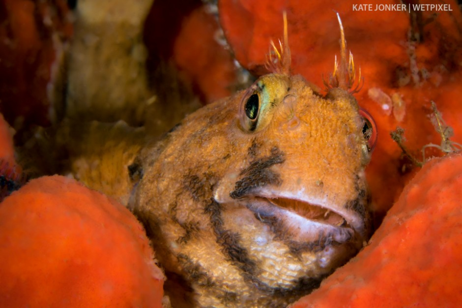 Horned blennies (*Parablennius cornutus*) simply have to be the most comical fish on the reef!