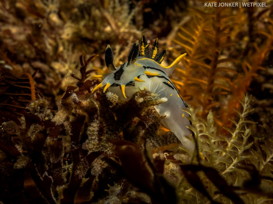 Crowned nudibranchs (*Polycera capensis*) are often found in Gordon's Bay.  This was photographed at Cow and Calf dive site.