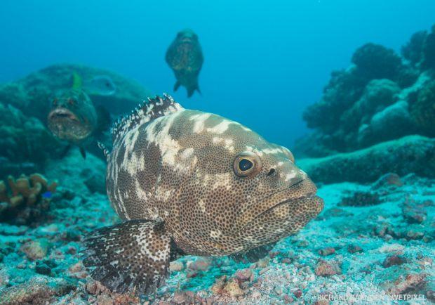 Camouflage grouper (epinephelus polyphekadion)-