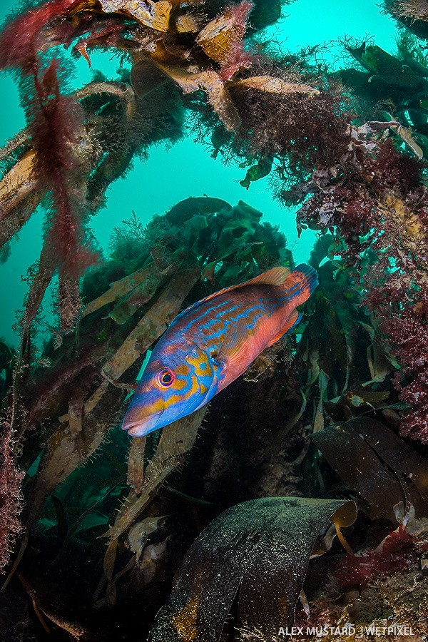 Cuckoo wrasse (*Labrus mixtus*) in kelp. Nikon D5 and Nikonos 13mm. Subal ND5. 2 x Inon Z240. 1/160th @ f/11, ISO 500.
