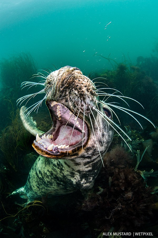 Playful seal. Nikon D5 and Sigma 15mm. Subal ND5, Zen 230 dome. 2 x Inon Z240. 1/125th @ f/14, ISO 640.
