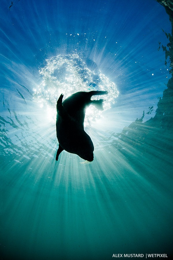 Diving seal silhouette. I used Fn-2 button to shoot this with the flashes off. Nikon D5 and Sigma 15mm. Subal ND5, Zen 230 dome. 1/320th @ f/22, ISO 500.