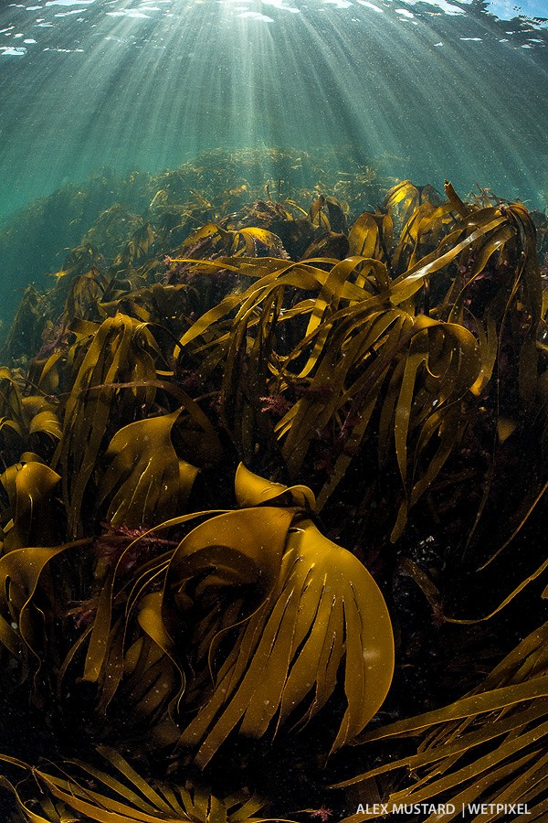 Kelp forest. Shot towards the sun, the camera captured both bright sunbeam detail and dark kelp, with rich color throughout.