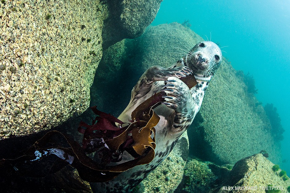 A female plays with kelp. Nikon D5 and Sigma 15mm. Subal ND5, Zen 230 dome. 2 x Inon Z240. 1/100th @ f/14, ISO 800.