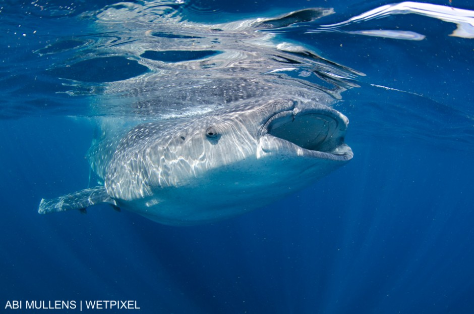 Whale shark at the surface is Isla Mujeres, Mexico, Abi Smigel Mullens