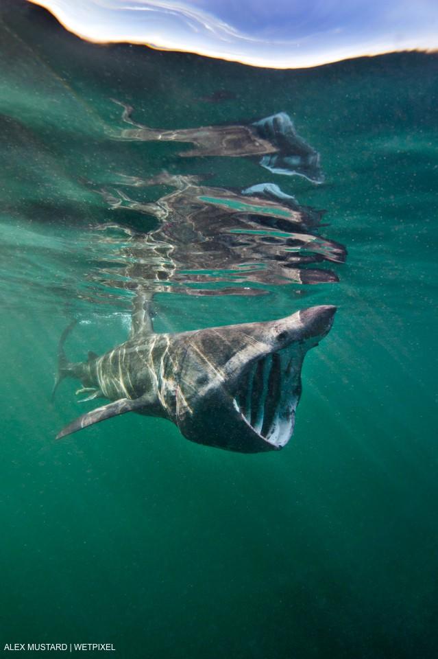 A basking shark (Ceterhinus maximus) filter feeding in plankton rich waters around the Island of Coll in June. Inner Hebrides, Scotland, British Isles. North East Atlantic Ocean, Alex Mustard