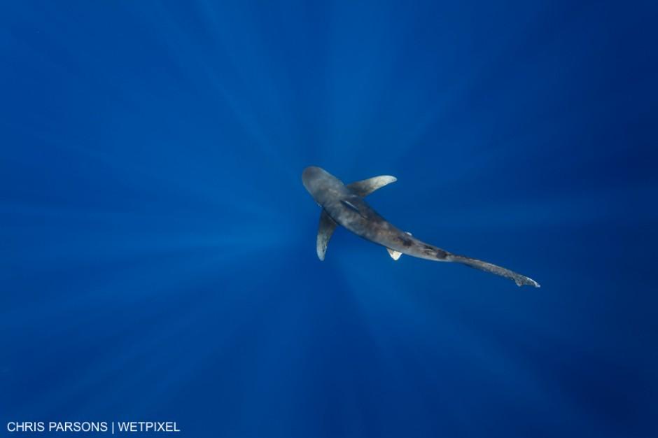 Oceanic Whitetip Shark swimming over deep water with sunbeams. Cat Island, Bahamas. Carcharhinus longimanus. Chris Parsons