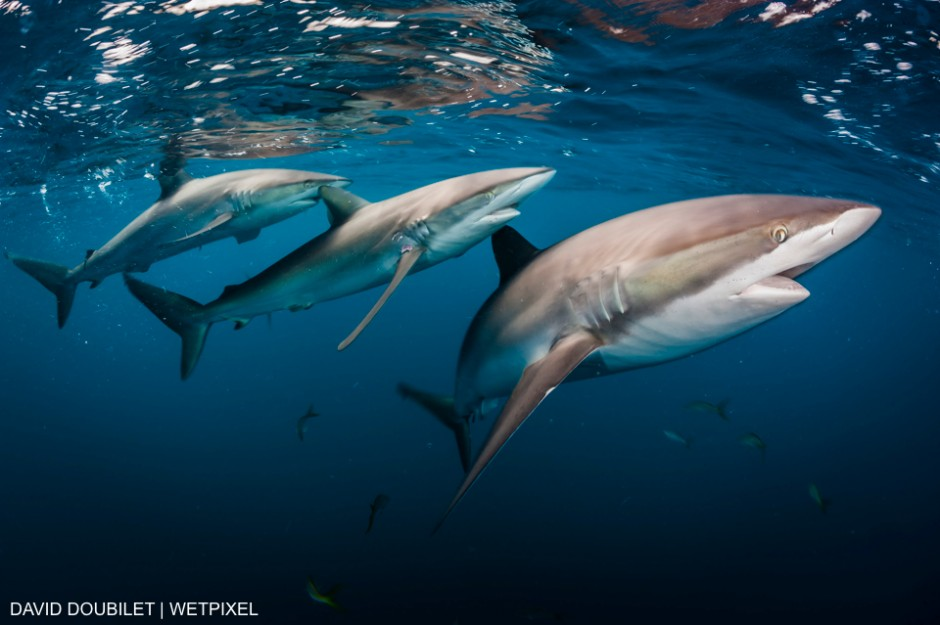 Stable populations of  Silky Sharks patrol  the rich coral reefs of Gardens of the Queen, National Marine park,  Cuba.  Unlike many places in the world The Gardens of the Queen National Marine Park has stable populations of sharks. David Doubilet
