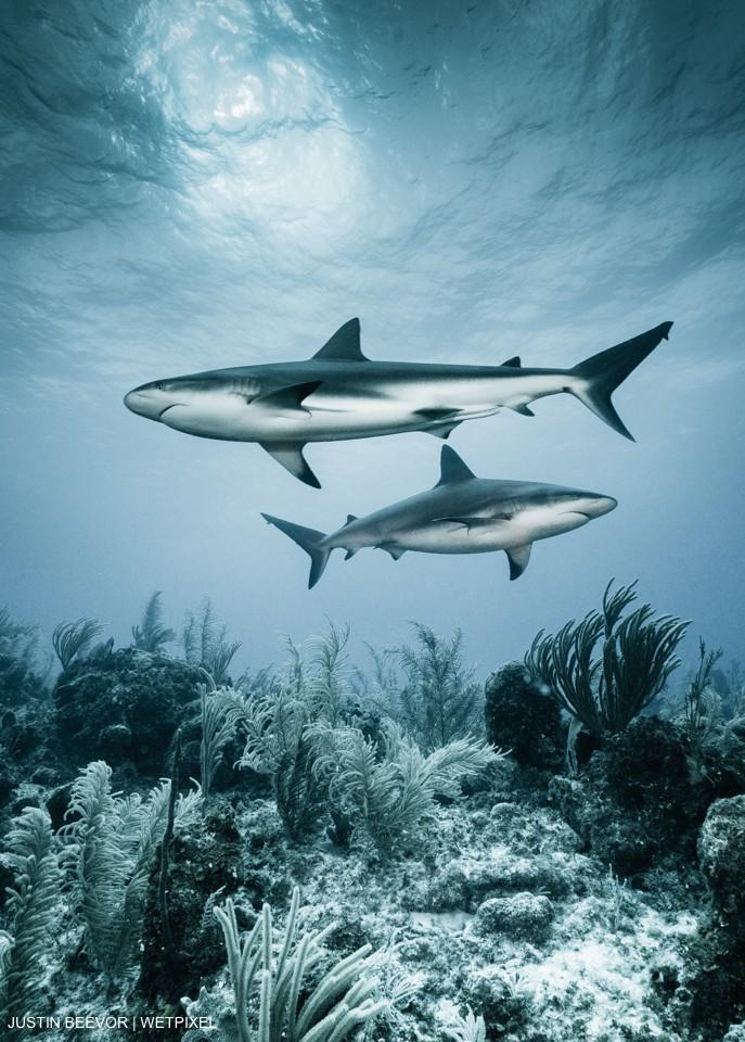 Pair of Caribbean Reef Sharks (Carcharhinus perezii). Justin Beevor