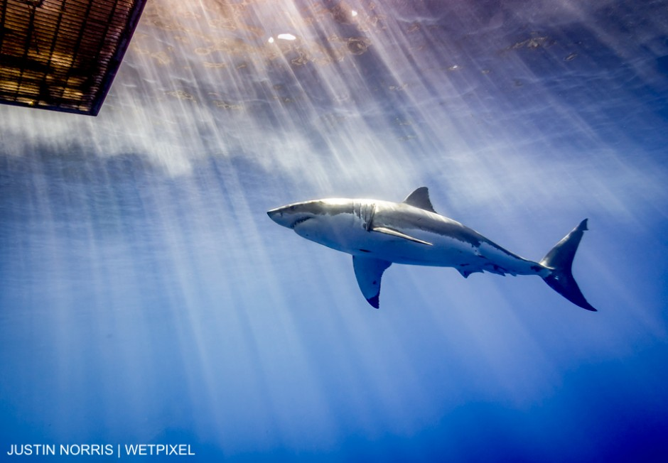 Taken at Guadalupe Island in August 2015. Justin Norris
