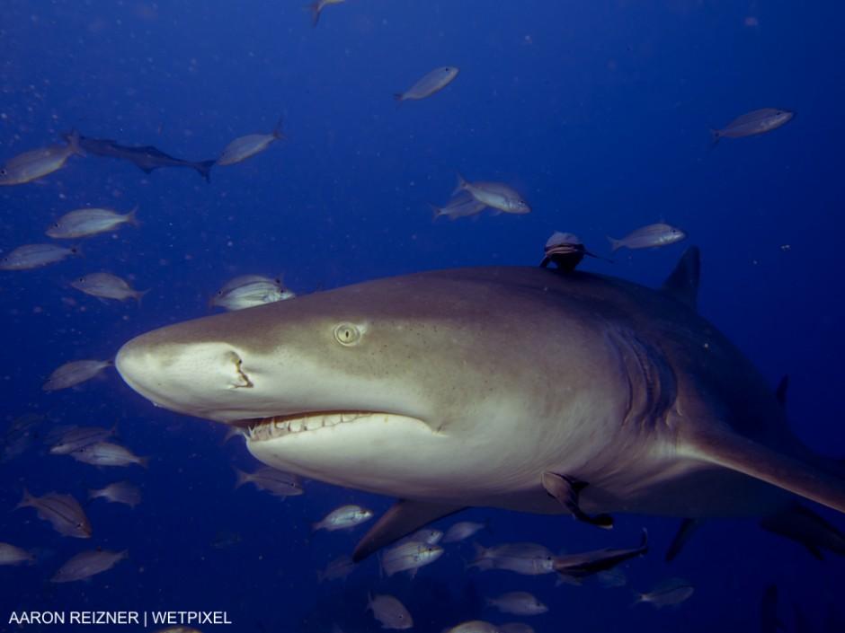 This was one of several lemon sharks (Negaprion brevirostris)  seeking chum near the wreck of the Esso Bonaire off Jupiter, Florida. Aaron Reizner