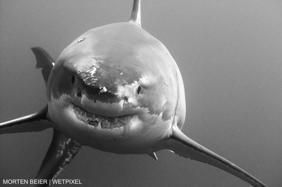 In October 2010 I experienced for he first time a great white shark in real life. Guadalupe, Mexico. Morton Beier