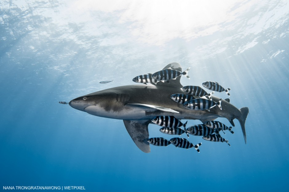 It's quite common to see Oceanic whitetip sharks accompanied by pilot fish. Nana Trongratanawong