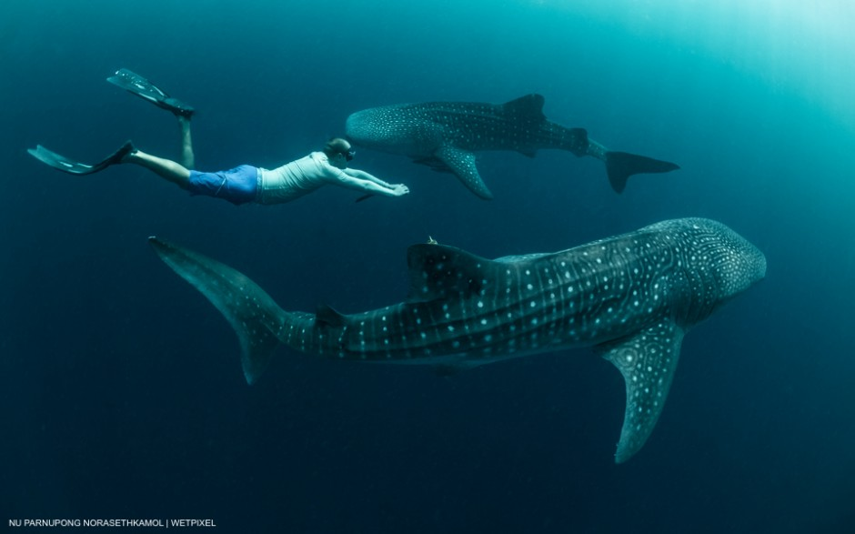 Whale Shark (Rhincodon typus) at Cenderawasih bay, Indonesia. Two sub-adult male Whale Sharks circling underneath the bagan (fishing raft) and freediver learn how to swim in harmony with those beautiful creatures. Nu Parnupong Norasethkamol