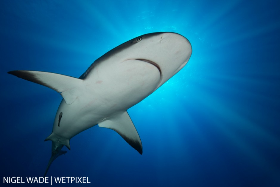 A majestic Caribbean Reef Shark (Carcharhinus perezii) cruises lazily overhead blocking out the bright Cuban sun. Nigel Wade