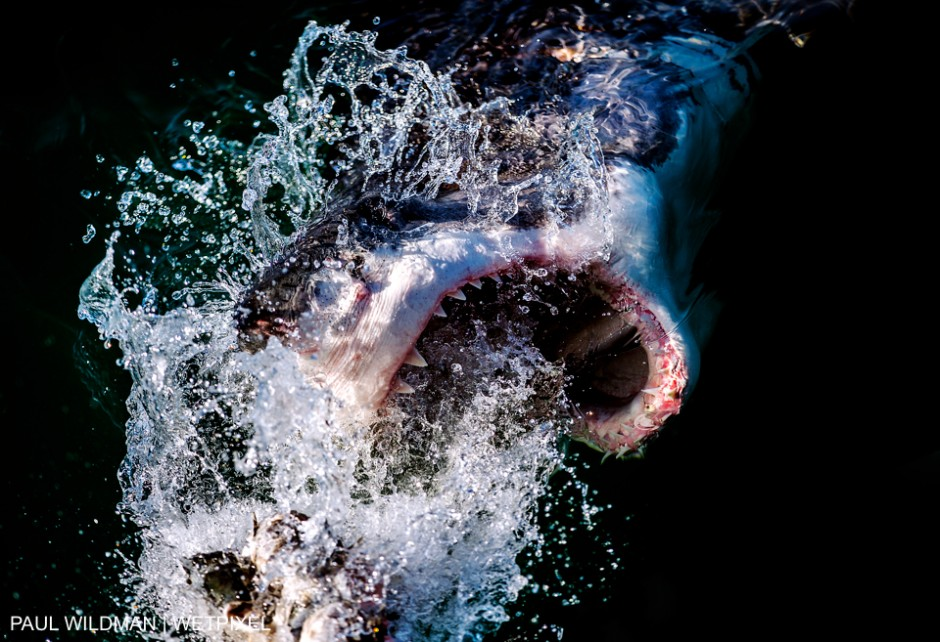Shot in Gansbaai South Africa 2015, Great White Shark - Carcharodon carcharias. Paul Wildman
