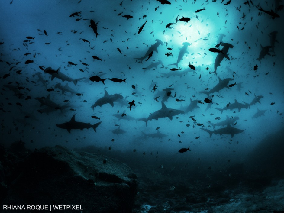 """Hammerhead Heaven"""" - taken in Darwin Island, Galapagos. Looking up at a school of scalloped hammerheads. Experiences like this make up the dreams of shark lovers everywhere and is one of the reasons we all keep diving. Rhiana Roque"""