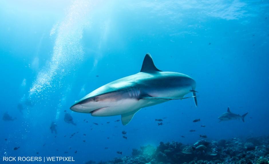 Silvertip Reefshark (Carcharhinus albimarginatus). Photographed at Rangiroa, French Polynesia. Rick Rogers