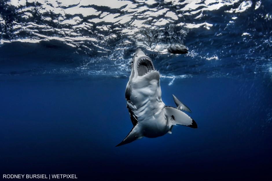 Great White shark photographed at Guadalupe Island aboard the Solmar V. Rodney Bursiel