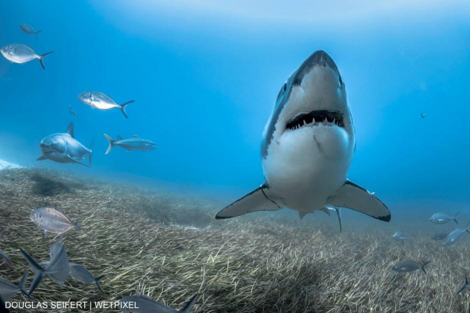 Great White Sharks (Carcharodon carcharias) patrol the sea floor in South Australia. Douglas Seifert