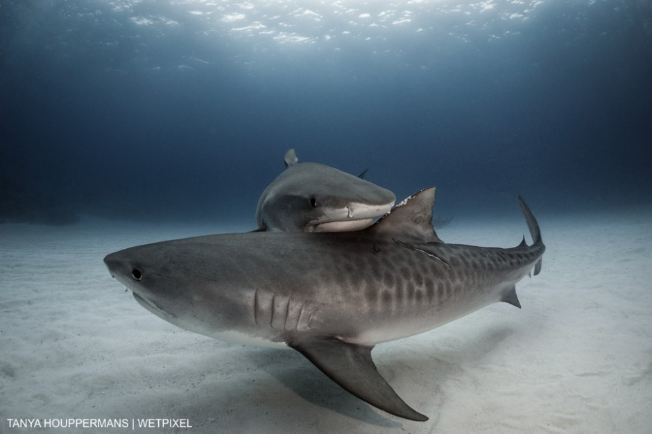Tiger Sharks (Galeocerdo cuvier) - Taken at Tiger Beach, Grand Bahama - Two female tiger sharks intersect as they pass by each other just over the sea floor off the coast of Grand Bahama. Tanya Houppermans