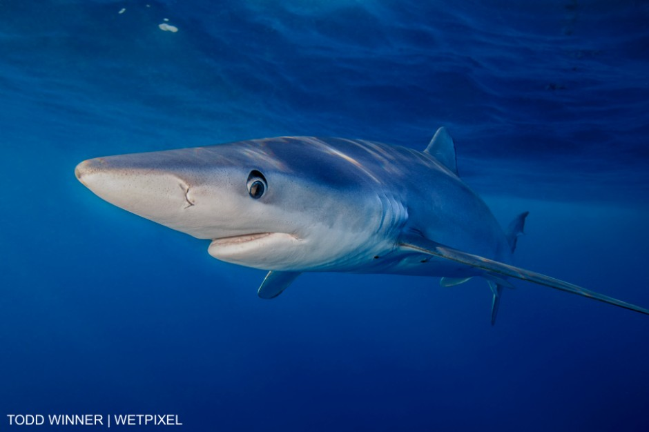 Blue shark, Prionace glauca, llnear the surface,  Southern California. Todd Winner