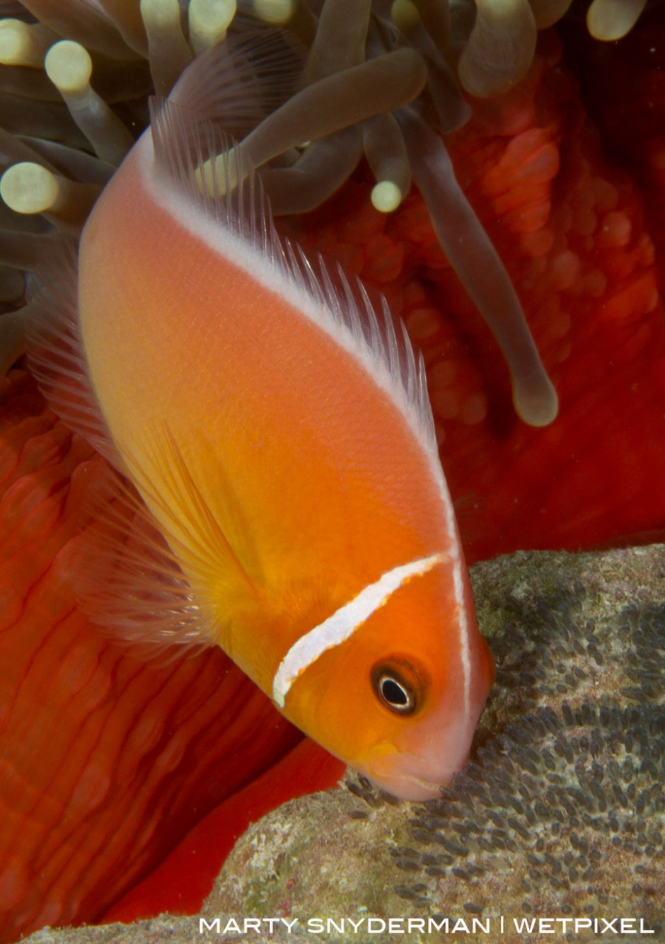 A pink anemonefish, *Amphiprion perideraion*, tending its eggs at the base of a sea anemone in M'il Channel, Yap