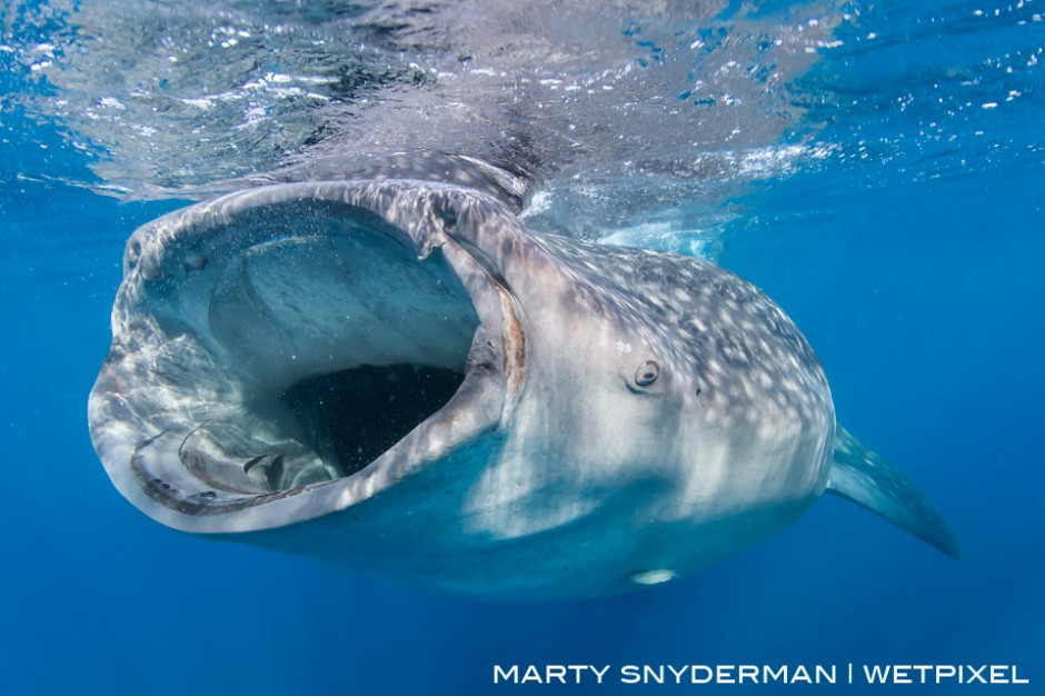 During a relatively predictable phenomenon, a whale shark, *Rhincodon typus*, feeds on fish eggs during the summer in the water off Isla Mujeres, Mexico