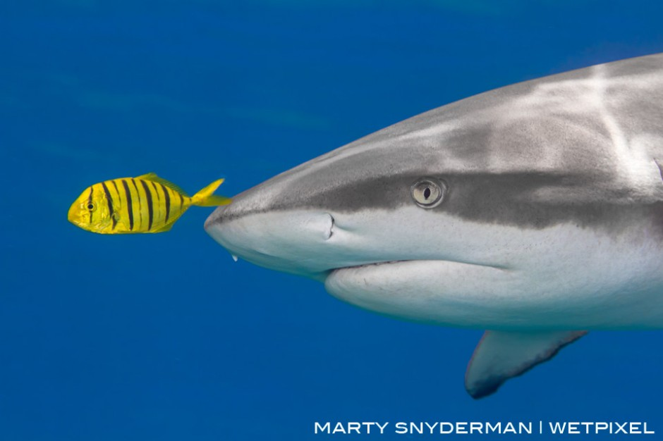 """A juvenile golden trevally (*Gnathanodon speciosus*), a type of jack, swims in the """"bow wake"""" of the pressure wave created by a gray reef shark (*Carcharhinus amblyrhynchos*) in Yap"""