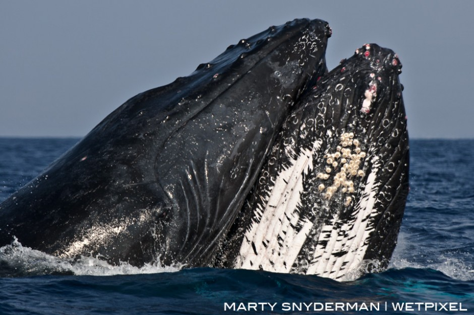 A pair of male humpback whales, *Megaptera novaeangliae*, slam into each other while competing for dominance during their wintertime mating season in Hawaii.