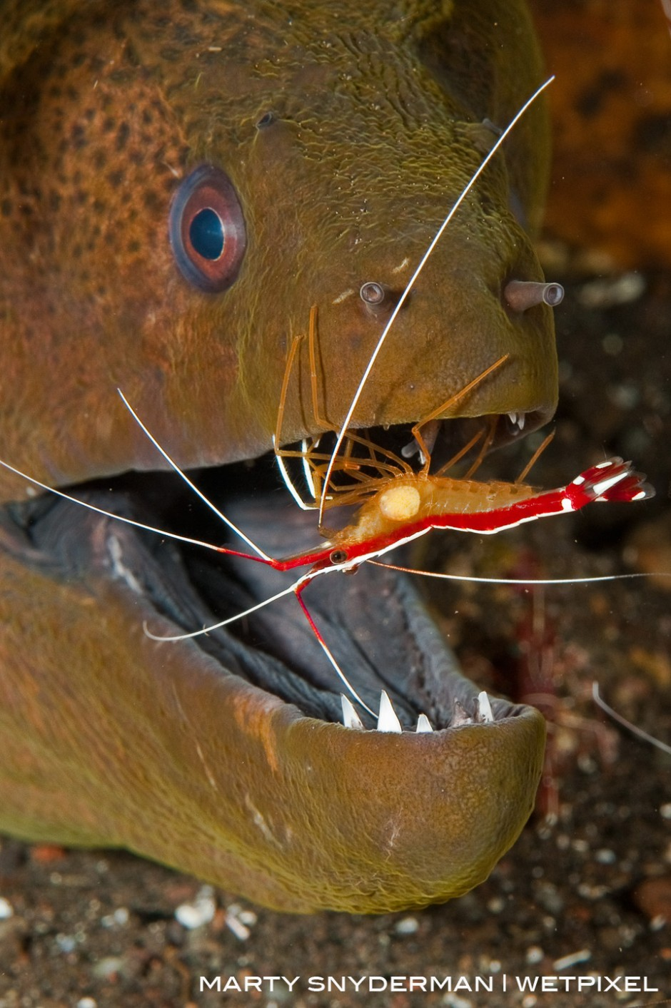 A yellow-margin moray eel, *Gymnothorax flavimarginatus*, getting cleaned by a scarlet cleaner shrimp, *Lysmata ambionensis*, in Indonesia