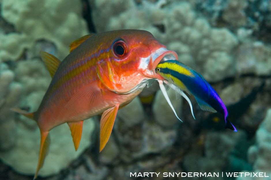 A yellowfin goatfish, *Mulliodichthys vanicolensis*, getting some dental hygiene from a Hawaiian cleaner wrasse, *Labroides phthirophagus*.