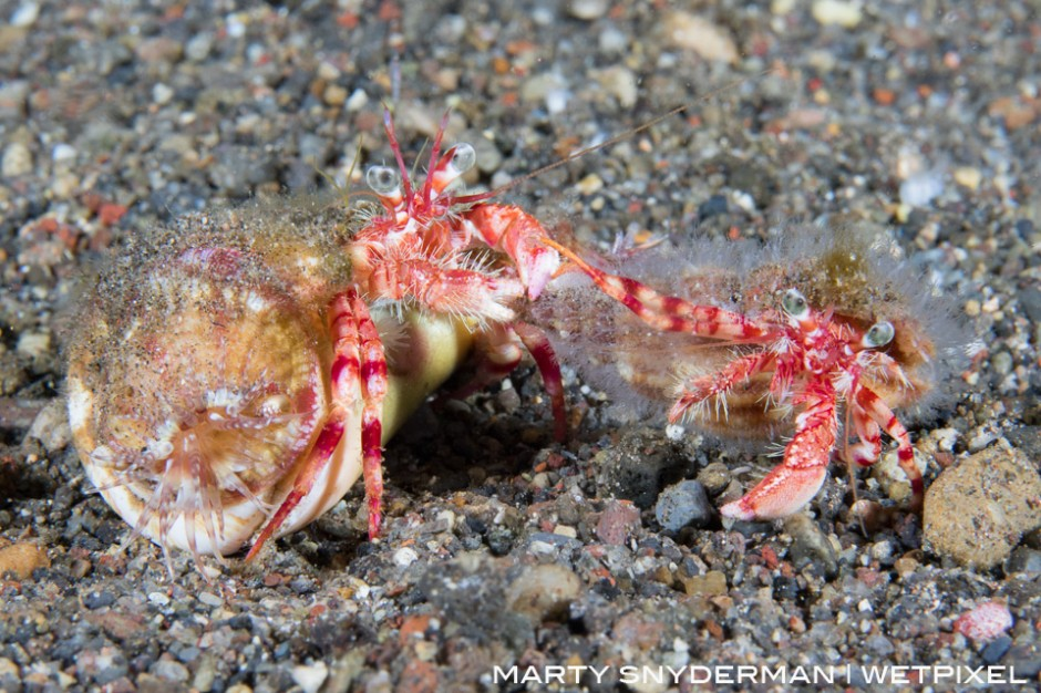 A pair of hermit crabs is in the midst of a 20-minute tug-of-war in the Indonesian region of Alor